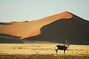 Am Rande der berühmten roten Sanddünen von Sossusvlei liegen grasbedeckte Ebenen, die nur nach den sehr seltenen Regenfällen ergrünen. Oryxantilopen (Oryx gazella) und andere große Pflanzenfresser Namibias können hier beobachtet werden.  | Oryx in the dunes (Oryx gazella) Namib Naukluft National Park - Sesriem Sossusvlei sand dune