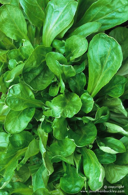 Corn salad, Mâche, Lamb's lettuce. Valerianella locusta