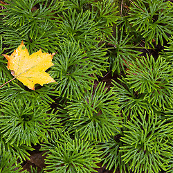 A maple leaf on a bed of Ground Cedar (ground pine), Lycopodium tristachyum, also known as club moss,  in the Hubbard Brook Experimental Forest.  White Mountain National Forest .  Near Mirror Lake.