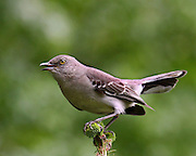 A mocking bird, male, looking for a mate.