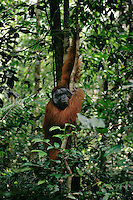 Bornean Orangutan (Pongo pygmaeus).  Adult male climbing up a liana in the rain forest..Gunung Palung National Park, West Kalimantan, Borneo, Indonesia.  Endangered Species (IUCN Red List: EN)