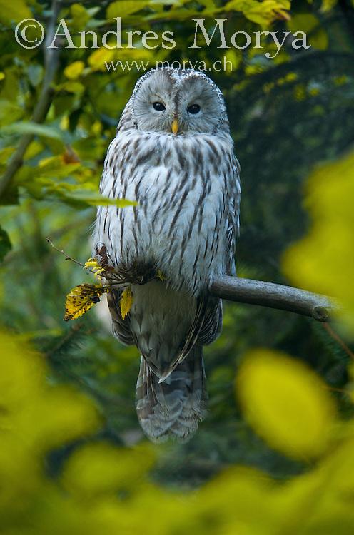 Ural Owl (Tragopan satyra), Europe Image by Andres Morya