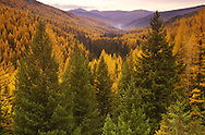 Western larch and mixed conifer forest in fall. Seventeen Mile Creek drainage, Purcell Mountains, northwest Montana.