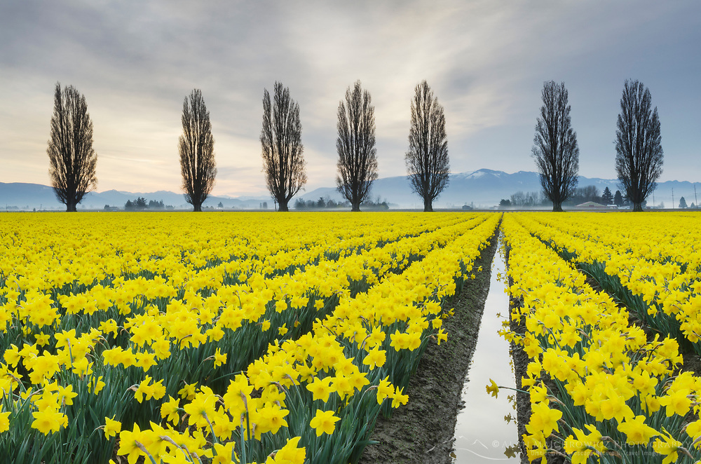 Fields of yellow daffodils in late March, Skagit Vallley, Washington