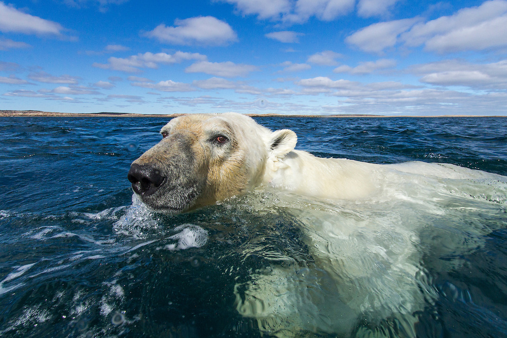 Canada, Nunavut Territory, Polar Bear (Ursus maritimus) swimming in Roes Welcome Sound along Hudson Bay just south of the arctic circle on summer morning