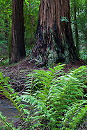 Redwood Creek flows through the forest, bringing nourishment to the many ferns and redwood behemoths that flourish along its length, Muir Woods National Monument