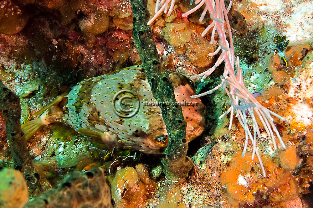 BalloonFish, Diodon holocanthus, Grand Cayman