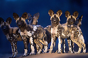 A pack of African Wild Dog puppies alone and alert and looking around for the adults.
