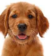 Golden Retriever puppy head shot.