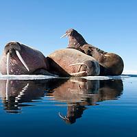 Norway, Svalbard, Spitsbergen Island, Three Walrus (Odobenus rosmarus) resting in summer sunshine on ice floe
