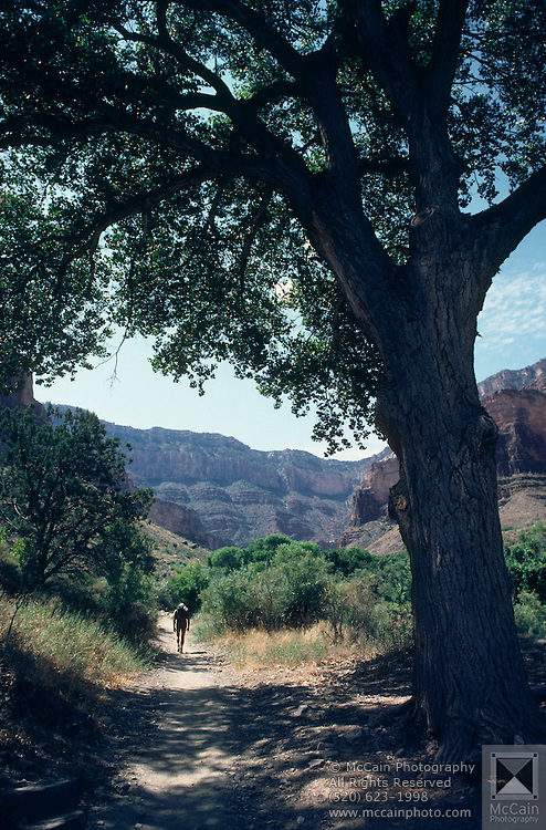 Bright Angel Trail passes under cottonwood below Indian Gardens, Grand Canyon National Park, Arizona..Media Usage:.Subject photograph(s) are copyrighted Edward McCain. All rights are reserved except those specifically granted by McCain Photography in writing...McCain Photography.211 S 4th Avenue.Tucson, AZ 85701-2103.(520) 623-1998.mobile: (520) 990-0999.fax: (520) 623-1190.http://www.mccainphoto.com.edward@mccainphoto.com