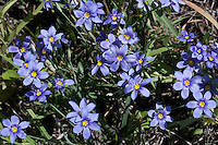 Blue-eyed Grass, (Sisyrinchium sagittiferum), Baxar County, Texas