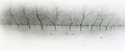 Snow on peach trees, Palisade, Colorado, black and white infra-red panorama