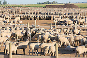A commercial feedlot to fatten sheep before heading to slaughter outside Fort Collins, Colorado.