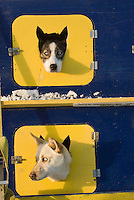 Dogs wait in their dog box until they are harnessed up to run in the 2009 International Yukon Quest Dog Sled Race in Whitehorse, Yukon.