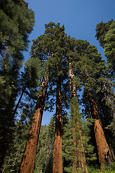 A group of Giant Sequoia trees (Sequoidadendron giganteum) grows in the Giant Forest section of Sequoia National Park, California, USA.