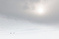 Svalbardrein på vinterbeite ved Sassendalen på Spitsbergen, Svalbard. Mars.