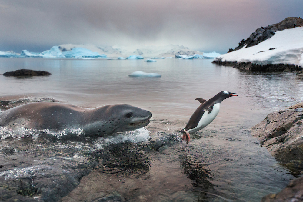 Antarctica, Cuverville Island, Leopard Seal (Hydrurga leptonyx) lunges after fleeing Gentoo Penguin at water's edge