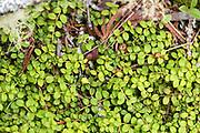 Creeping Snowberry (Gaultheria hispidula) growing on Isle au Haut, Maine.