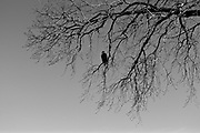 Bald Eagle In Tree - Black and White
