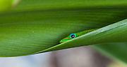 Gold Dust Day Gecko Lizard