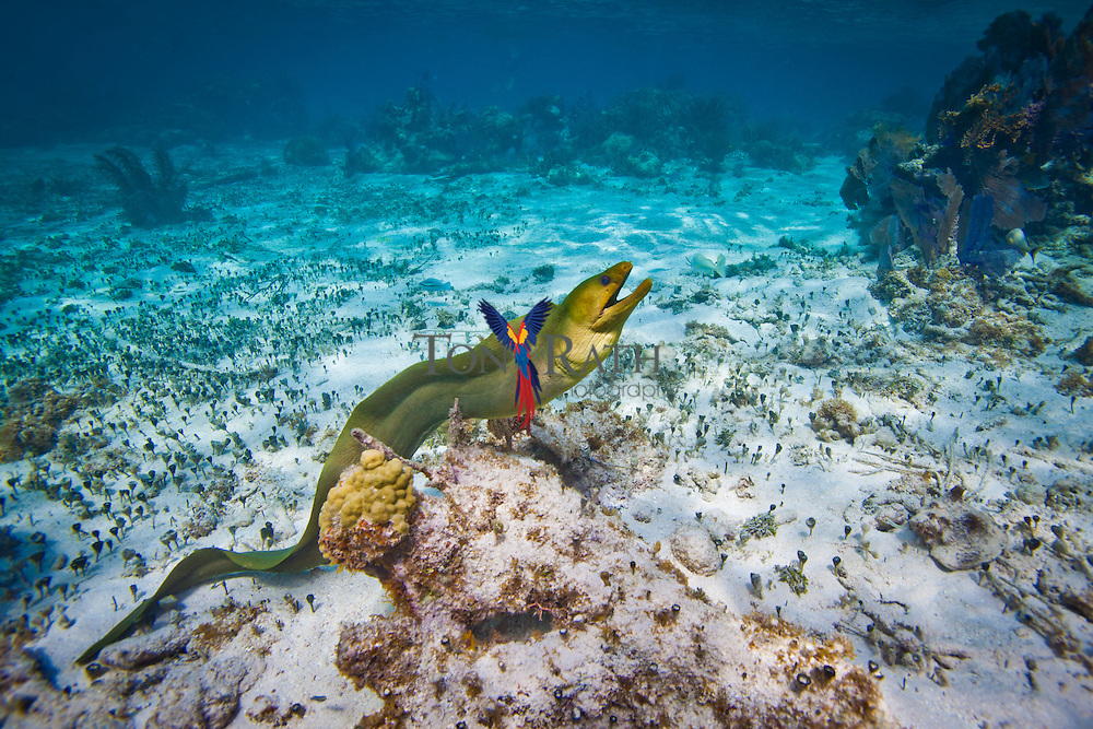 Underwater shot shows full body of moray eel on the ocean floor against crystal clear blue water and coral barrier reef background at the Hol Chan Marine Reserve in San Pedro Ambergris Caye, Belize