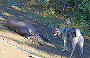 Norwegian Elkhound, grey. Norsk elghund grå.