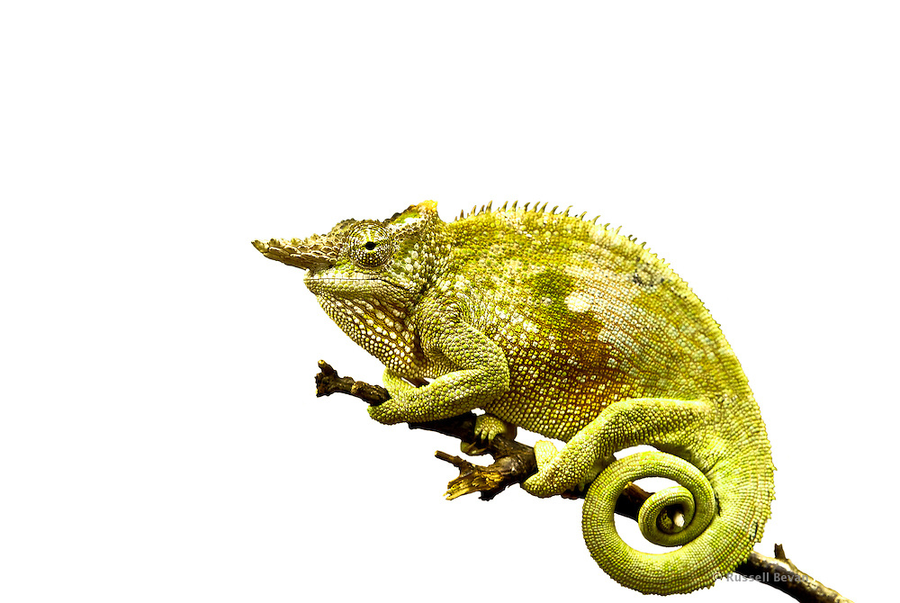 Fischers chameleon cut out russell bevan photography cut out of a fischers chameleon on white thecheapjerseys Choice Image