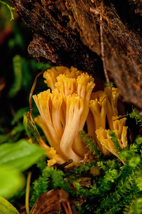 The yellow-tipped coral is one of those odd and irregular-shaped mushrooms occasionally found in the wild. As many things in nature that are delicately beautiful, this is is known to be poisonous. This one was photographed in the fall on Mount Rainier.