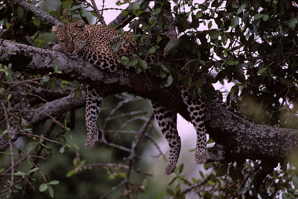 Africa, Kenya, Masai Mara Game Reserve, Leopard (Panthera pardus) resting on tree branch above Telek River