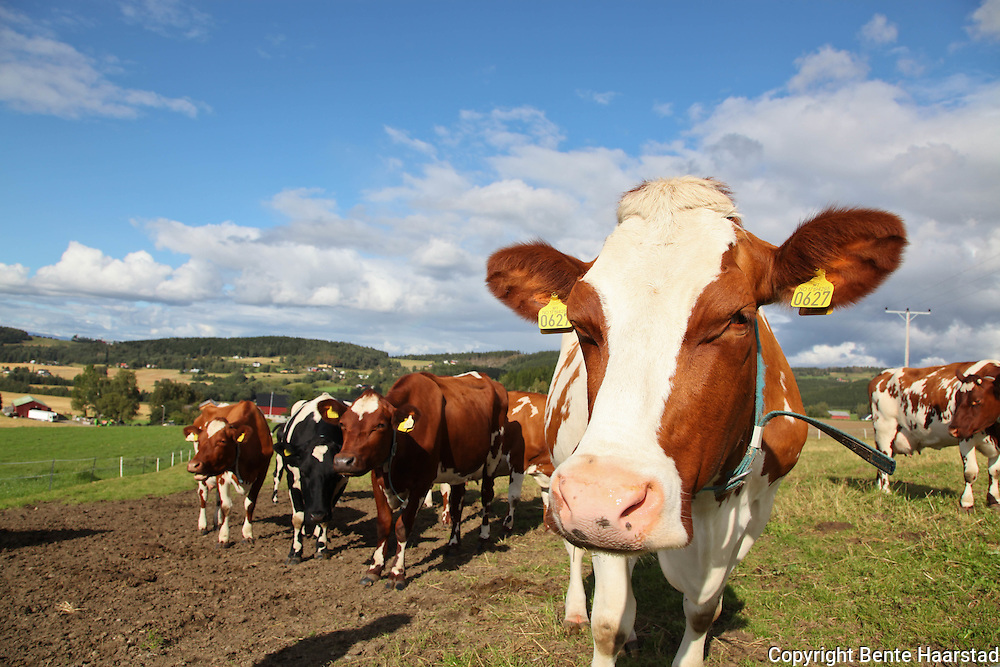 Cows that deliver the milk used to make the popular Munkeby cheese, made by the monks at Munkeby Monastery, in Levanger, Norway.