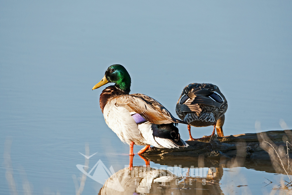 Drake and hen Mallard rests on an old log along the Bear River in northern Utah.