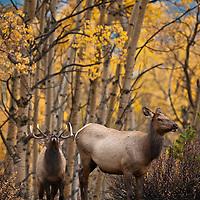 bugling trophy bull elk