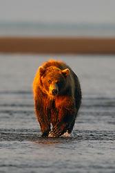 North American brown bear /  coastal grizzly bear (Ursus arctos horribilis) sow walking along a beach at sunrise, Lake Clark National Park, Alaska, United States of America