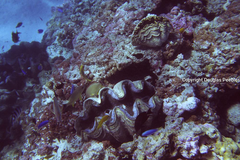 Giant Clam, Aitutaki, Cook Islands<br />