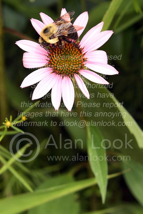 11 July 2010: Purple Cone Flower.  Miller Park Zoo, Bloomington Illinois
