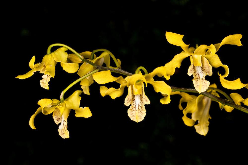 Cone-Flower orchid Dendrobium conanthum