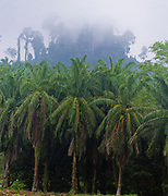 African oil palms (Elaeis guineensis) growing in front of primary rainforest in Tabin, Sabah, Borneo.