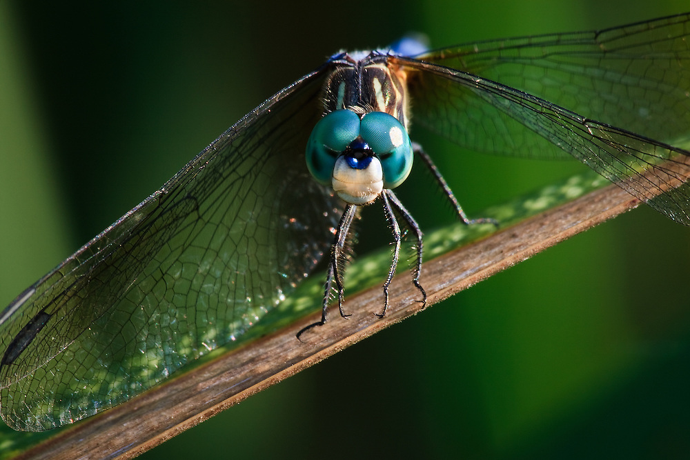 Close-up of the face of a blue dasher dragonfly (Pachydiplax longipennis) perched on a cattail at Huntley Meadows Park, Alexandria, Virginia.