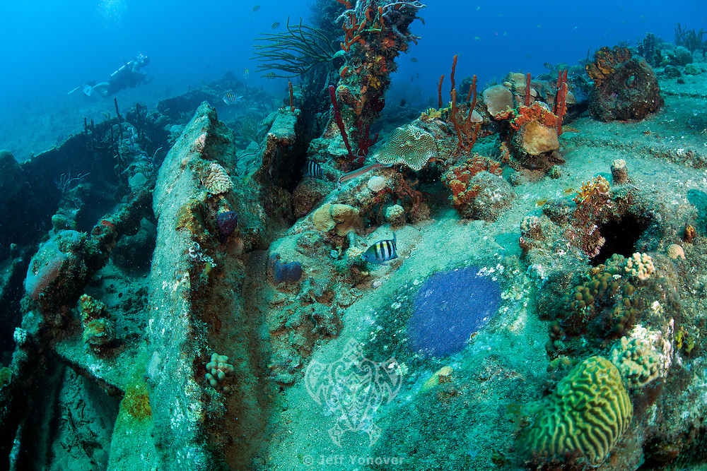 """Sergeant Majors protect their patch of eggs (purple area)..On the Shipwreck of the RMS Rhone..Detailed info in """"Headline"""" section.Shot in British Virgin Islands"""