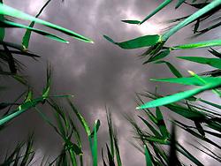 UK ENGLAND NORFOLK HINDOLVESTON 19MAY07 - Field of wheat in stormy windy weather...jre/Photo by Jiri Rezac..© Jiri Rezac 2007..Contact: +44 (0) 7050 110 417.Mobile:  +44 (0) 7801 337 683.Office:  +44 (0) 20 8968 9635..Email:   jiri@jirirezac.com.Web:    www.jirirezac.com