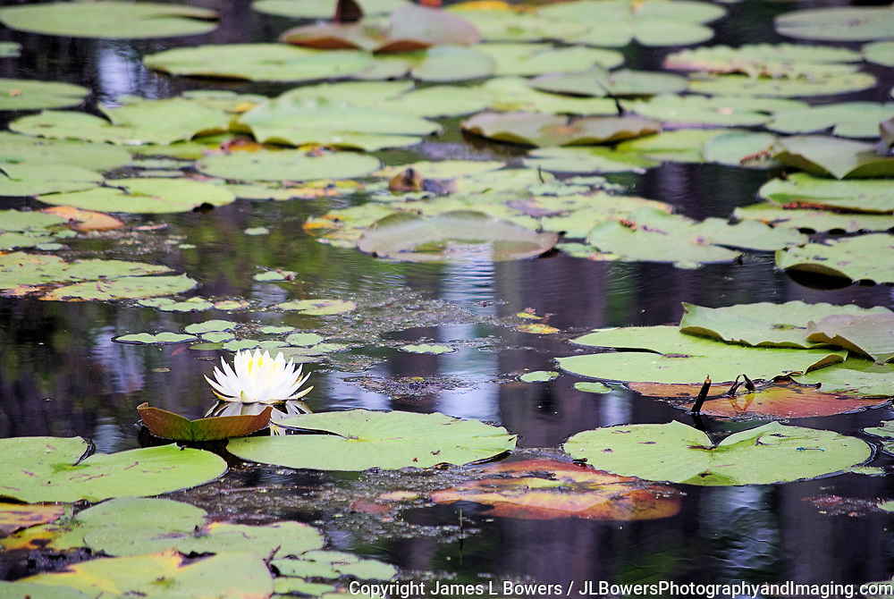 Lily Pads in Cypress Pond