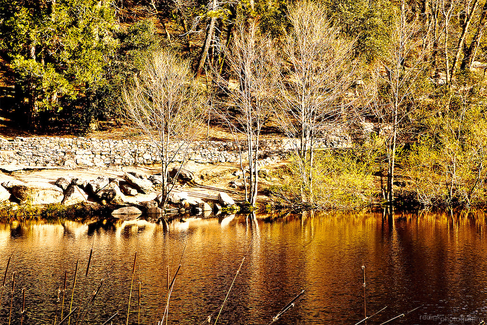 Lake Fuller outside of Idyllwild in the San Jacinto National Forest near Palm Springs. Barren trees reflecting in water. Cat o nine tails in foreground.