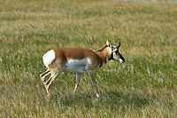 Pronghorn Antelope (Antilocapra americana) at the entrance to Badlands National Park, North Dakota   Photo: Peter Llewellyn