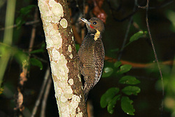 Buff-necked Woodpecker, Meiglyptes tukki, Bukit Rengit, Malaysia, by Adam Riley