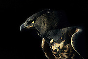 A Crowned Eagle (stephanoaetus coronatus) looking with the typical hard intensity of a large raptor. Captive animal at the Moholoholo rehabilitation centre, Hoedspruit, South Africa.