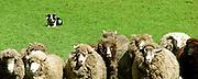 Sheepdog at work in New Zealand (4x10-inch block print)