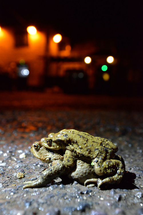 Common Toad - Bufo bufo - amplexus pair found at a notorious migration crossing point on a busy village road during the breeding migration period in early spring.