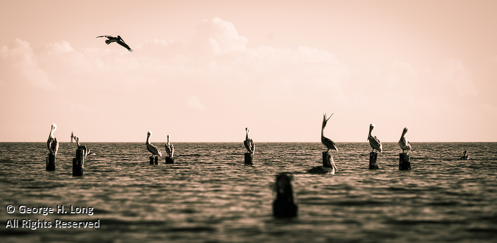 Brown pelicans along the north shore of Lake Pontchartrain in Big Branch Marsh Wildlife Preserve