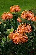 Kula Botanical Garden, Protea Flower, Upcountry Maui, Hawaii